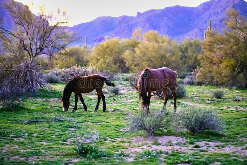 Cavalos selvagens situados na terra da reserva indígena de Pima-Maricopa pelo Salt River mais baixo no Arizona fotos de stock