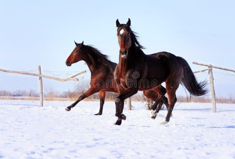 Cavalos ucranianos da raça do cavalo foto de stock