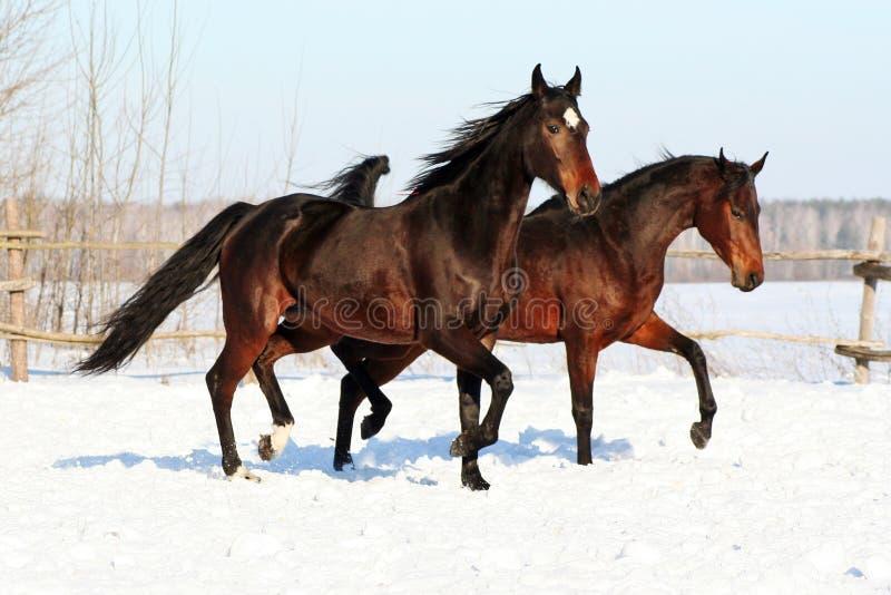 Cavalos ucranianos da raça do cavalo imagem de stock