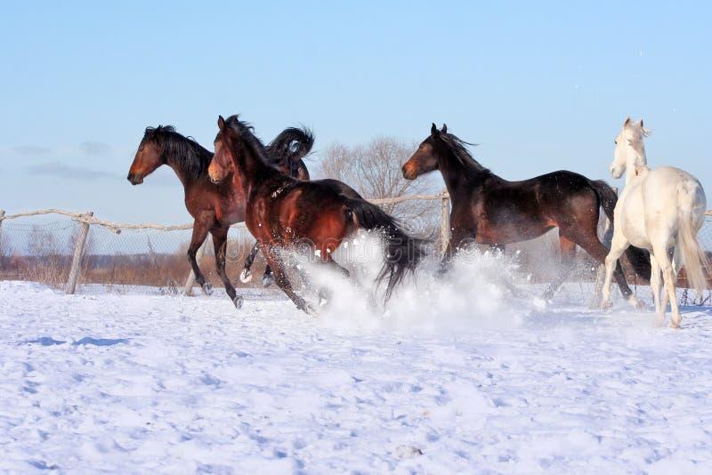 Cavalos ucranianos da raça do cavalo fotografia de stock royalty free