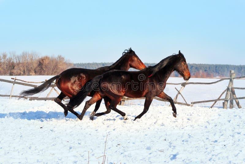 Cavalos ucranianos da raça do cavalo imagens de stock