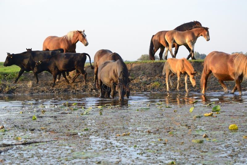 Cavalos, vacas e touros no campo imagem de stock