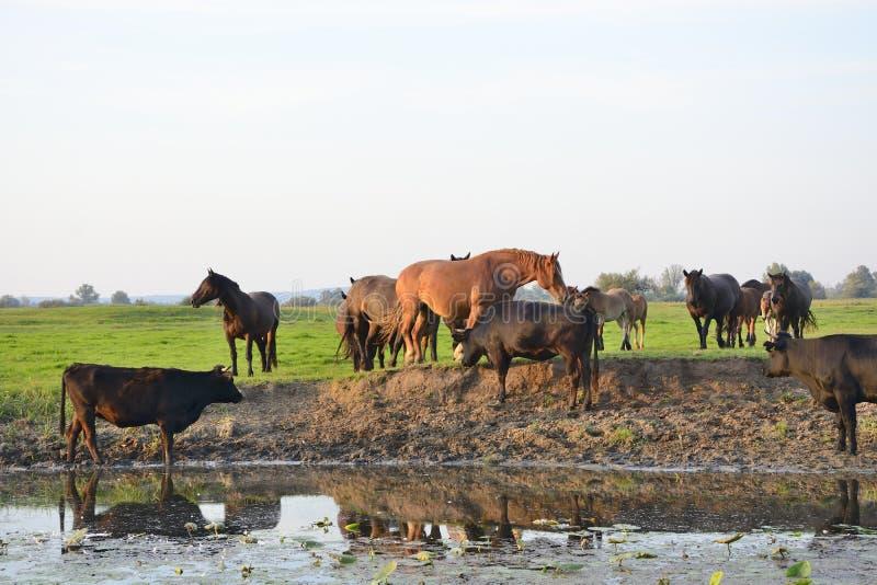 Cavalos, vacas e touros no campo fotos de stock royalty free