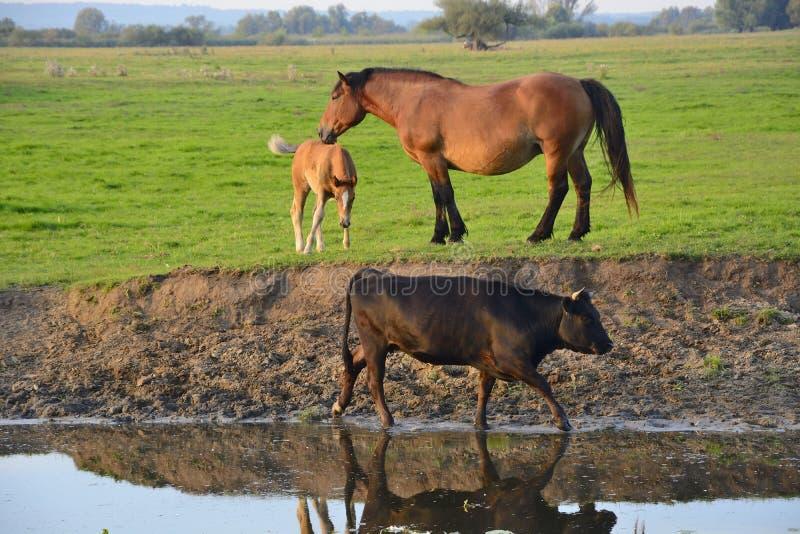 Cavalos, vacas e touros no campo imagens de stock royalty free