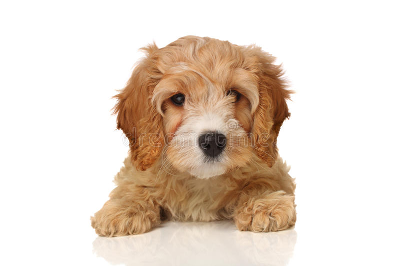 Cavapoo puppy royalty free stock image