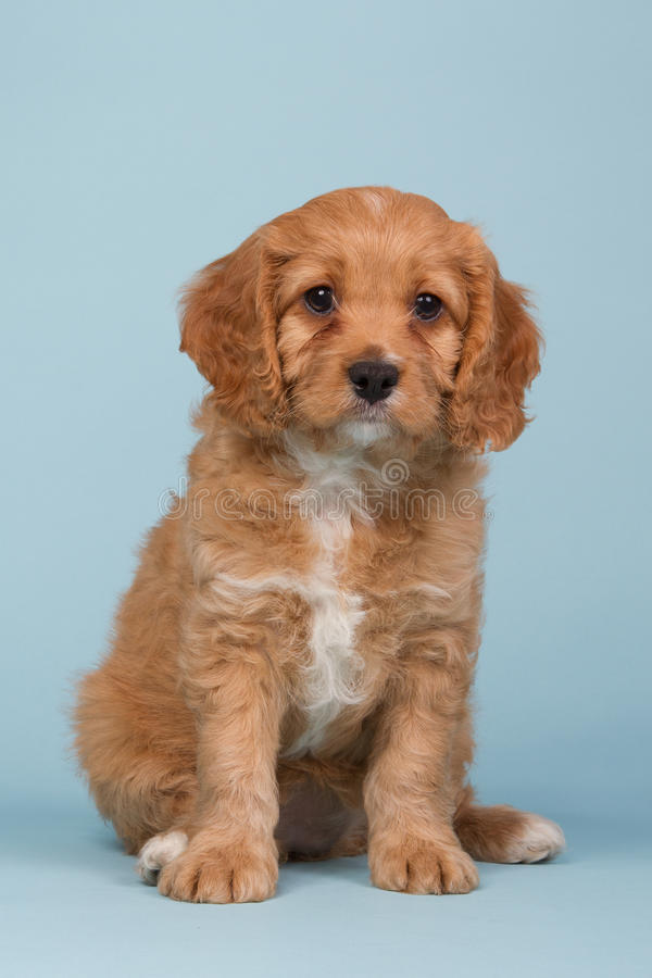 Free Cavapoo Puppy Sitting On A Blue Background Royalty Free Stock Photo - 91787025