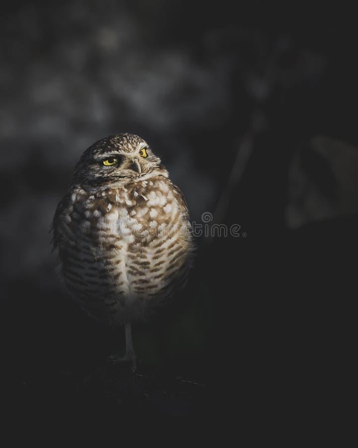 Cavarando a Owl Portrait Standing en la oscuridad delante de rocas - orientación del retrato con el espacio de la copia imagenes de archivo
