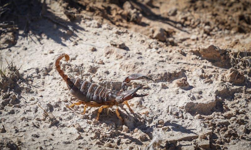 Cavarar el escorpión en Namibia fotografía de archivo