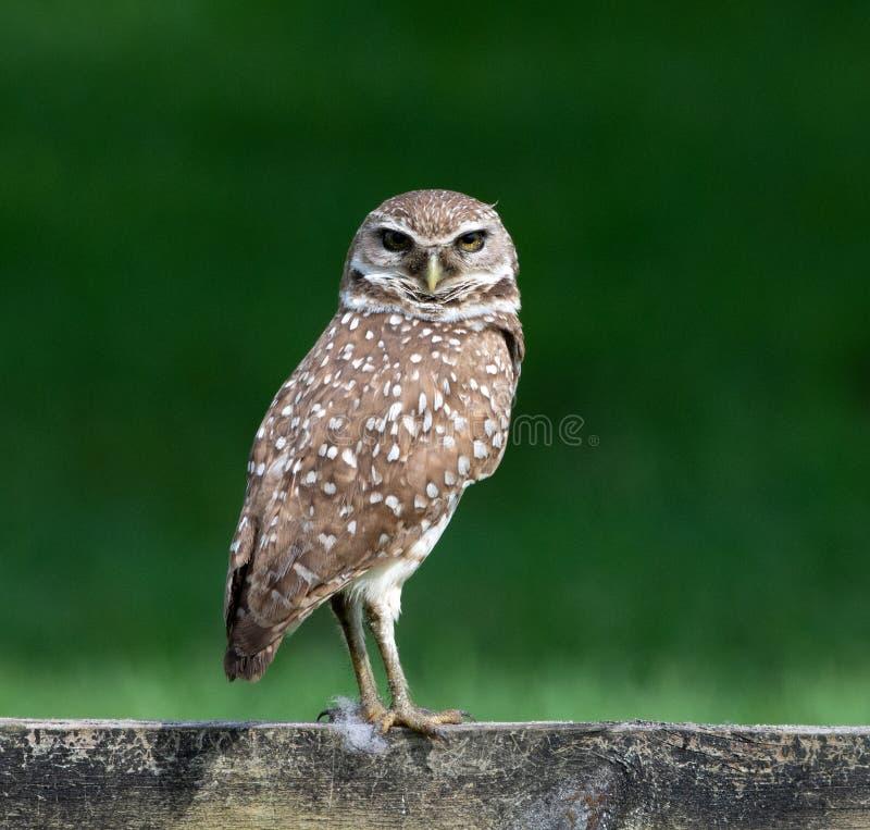 Cavarar a Owl Against Dark Green Background fotos de archivo