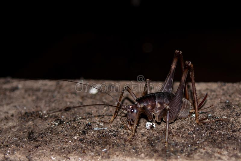 Cave cricket. stock images