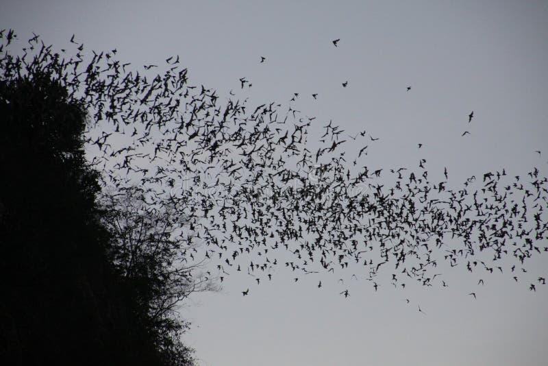 Caverna del pipistrello di Battambong, Banan, Cambogia: Pipistrelli innumerevoli che sciamano fuori nel cielo uguagliante di crep fotografie stock libere da diritti