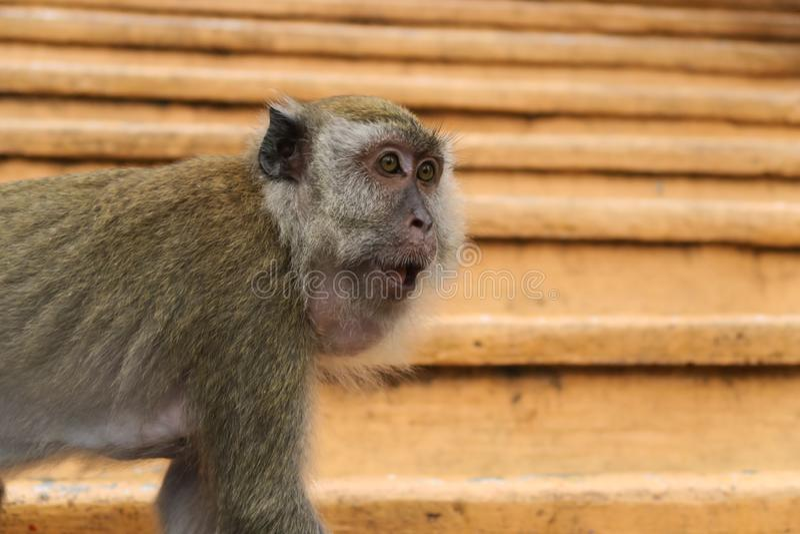 Caverne divertenti della Malesia Batu del fronte del ritratto di macacca del macaco della scimmia fotografia stock libera da diritti