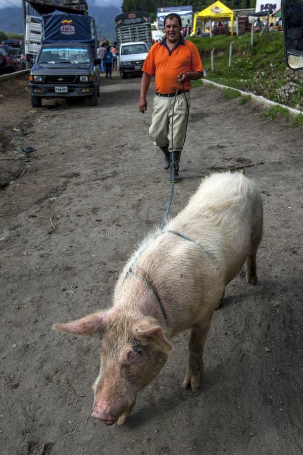 Cavi di maiale la sua casa del nuovo proprietario dal mercato animale di Otavalo nell'Ecuador nel Sudamerica immagini stock libere da diritti