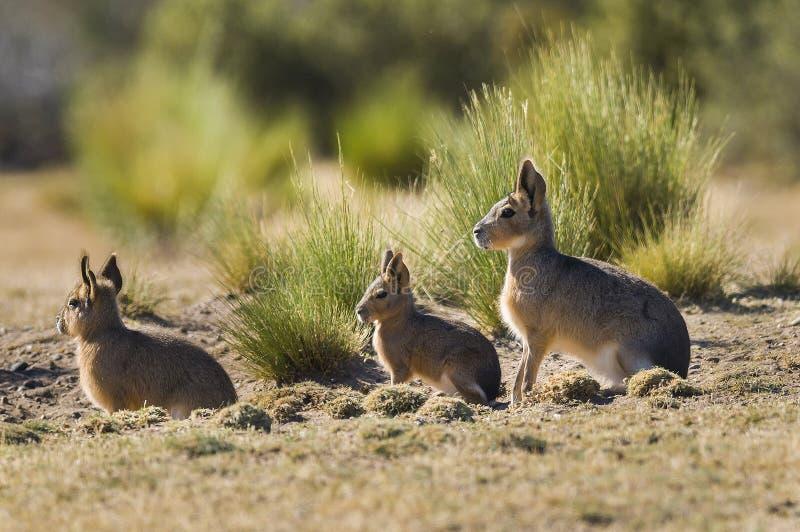 Cavi patagonian, Patagonia, Argentina immagine stock libera da diritti