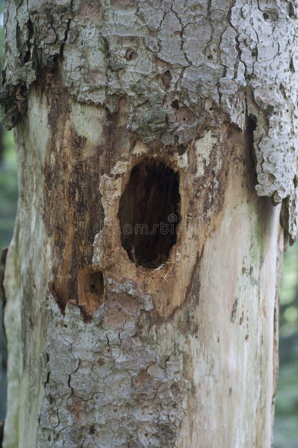 Cavidade em uma árvore fotografia de stock royalty free