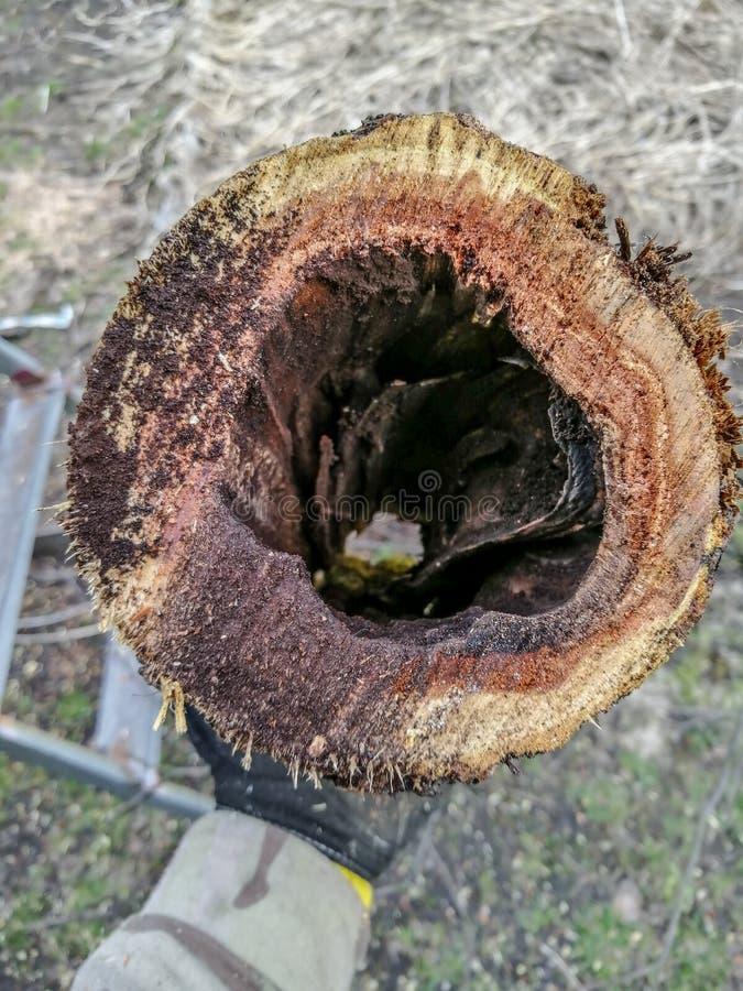 Cavità nell'albero da frutto, una malattia del giardino fotografia stock libera da diritti