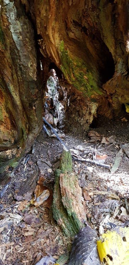 cavità su un albero fotografie stock libere da diritti