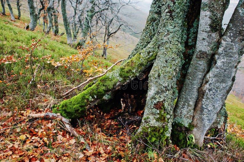 Cavité d'arbre, couverte sur la mousse à la forêt d'automne sur des montagnes photo stock