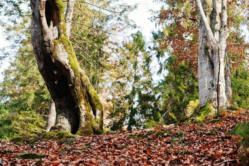 Cavité d'arbre, couverte sur la mousse à la forêt d'automne sur des montagnes image stock