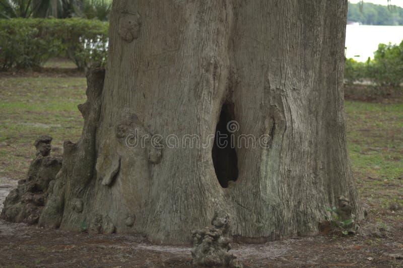 Cavité d'arbre en parc central de la Floride donnant sur un lac image libre de droits