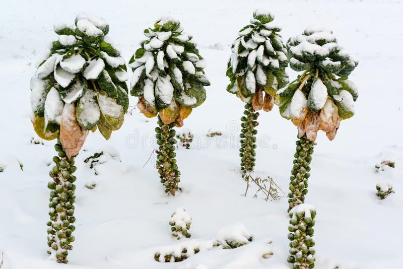 Cavoletti di Bruxelles in neve immagini stock