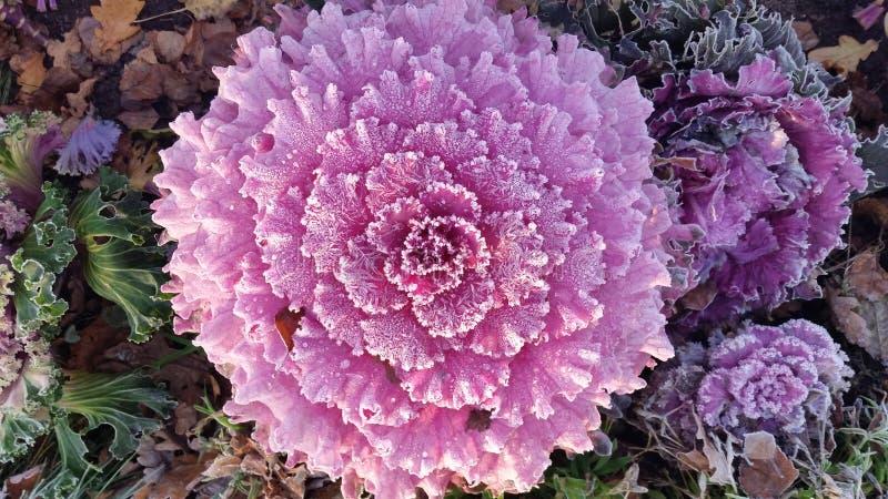 Cavolo del fiore del brassica fotografia stock