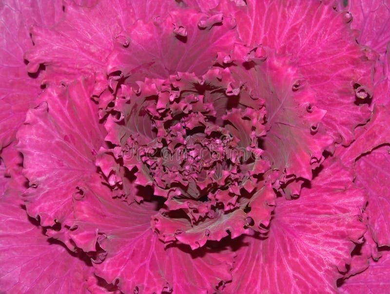 Cavolo ornamentale immagine stock immagine di modello for Cavolo ornamentale