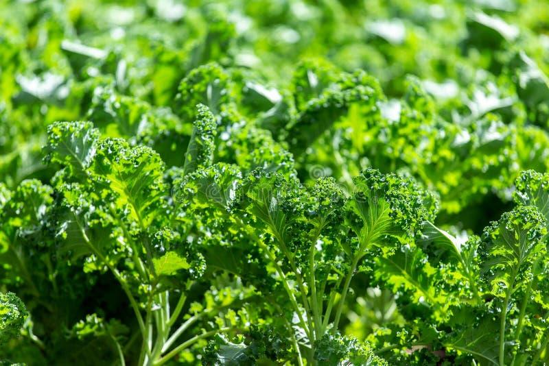 Cavolo riccio su suolo organico naturale Il cavolo è un capace di verdure dell'inverno fotografia stock libera da diritti