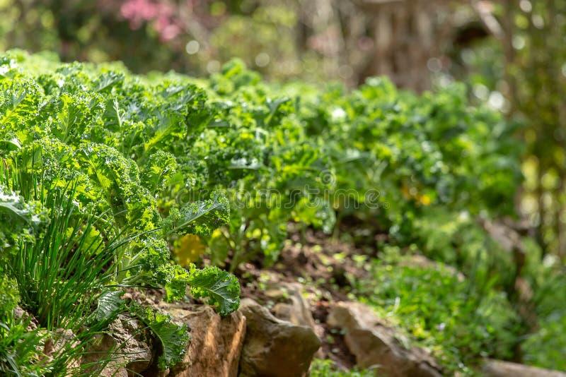 Cavolo riccio su suolo organico naturale Il cavolo è un capace di verdure dell'inverno fotografie stock libere da diritti