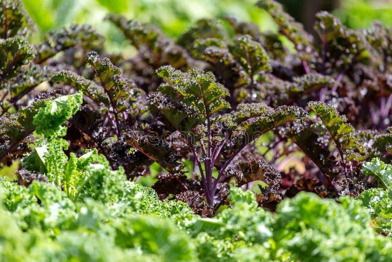 Cavolo riccio su suolo organico naturale Il cavolo ? un capace di verdure dell'inverno fotografie stock libere da diritti