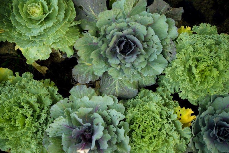 Cavolo variopinto decorato nell'azienda agricola del giardino fotografia stock libera da diritti
