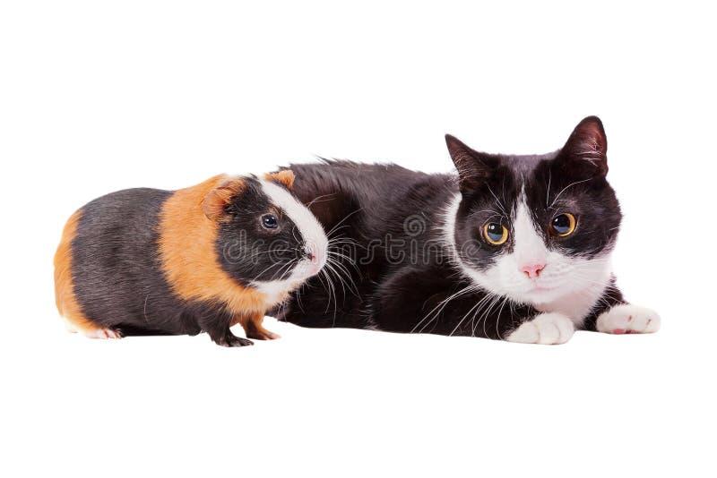 Cavy и кот стоковое изображение rf