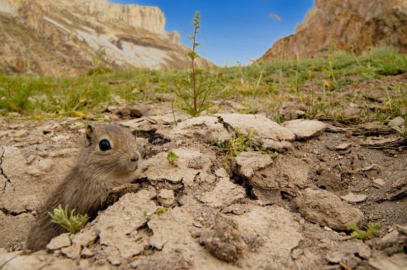 Cavy del sud della montagna in habitat immagine stock libera da diritti
