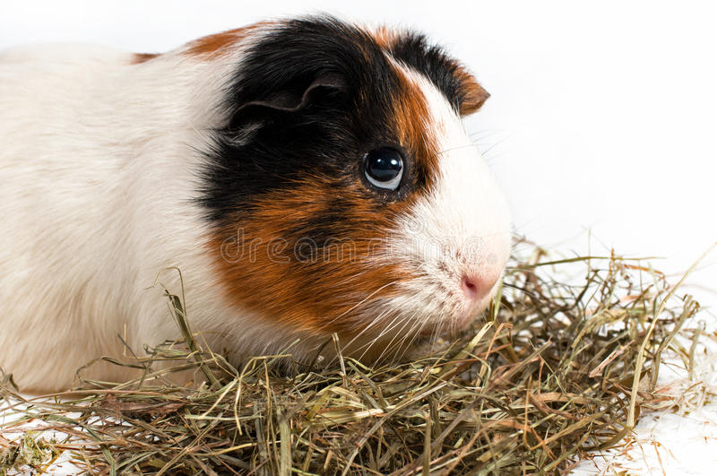 Cavy, guinea pig. Guinea pig eating hay on a white background royalty free stock photography