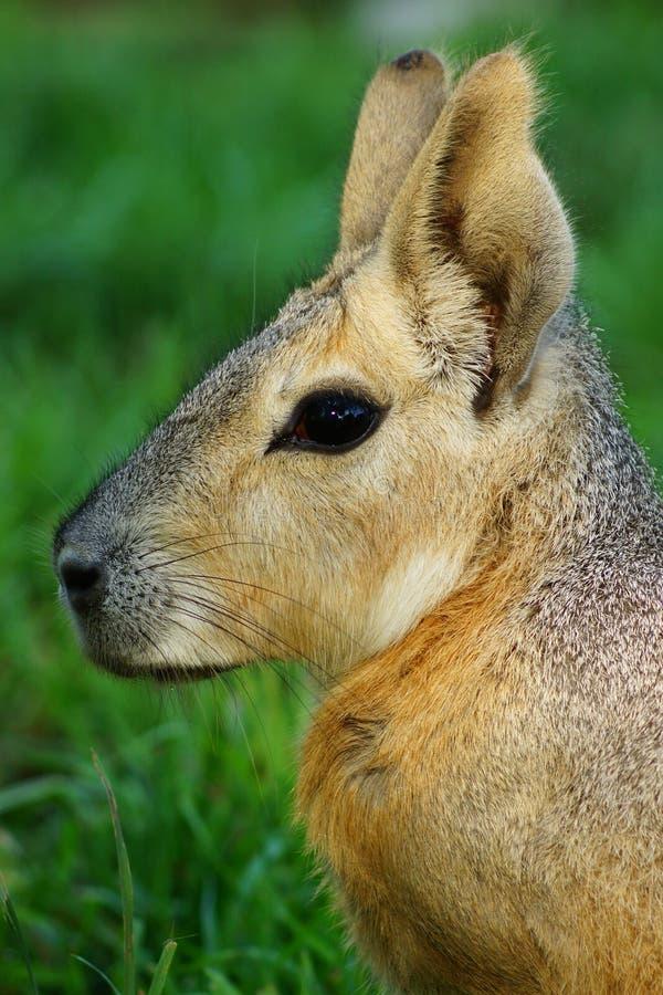 Cavy Patagonian Mara immagini stock libere da diritti