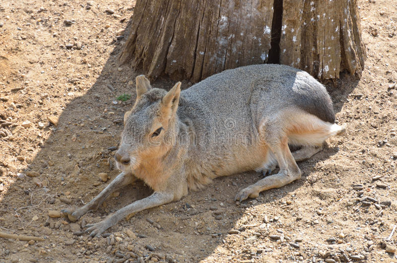 Download Cavy in Shade stock photo. Image of lying, fauna, america - 32323308