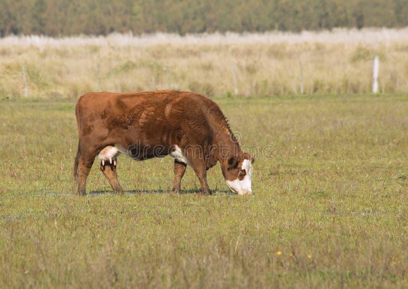 Caw пася на поле травы стоковая фотография rf