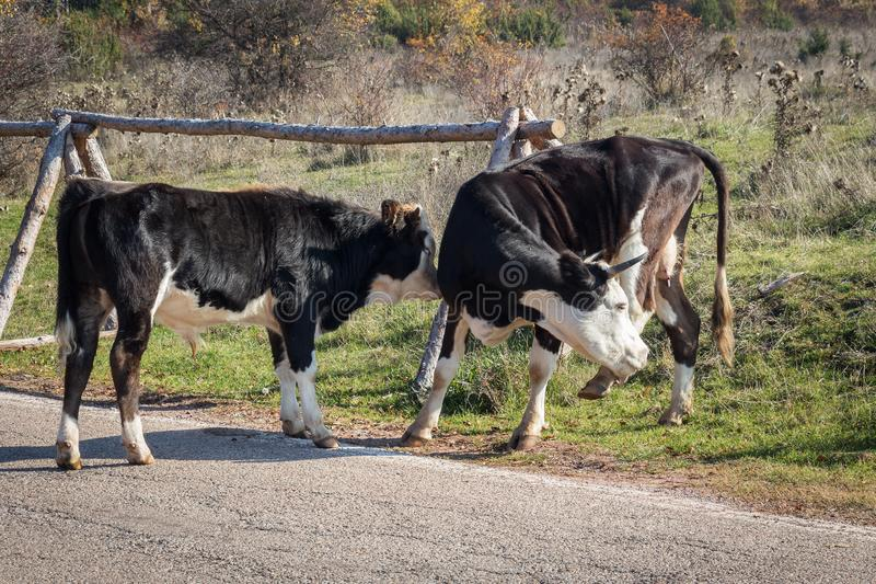 Cows on the road royalty free stock photography