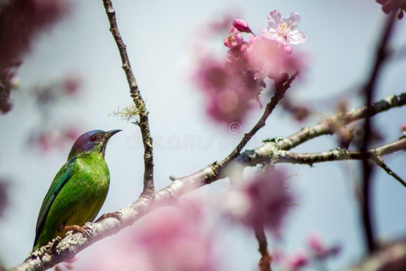 Cayana femelle de Dacnis dans les fleurs de cerisier images stock