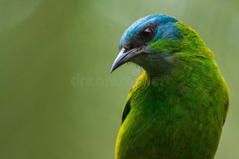 Cayana femelle de Dacnis, dans Ubatuba, le Brésil images stock
