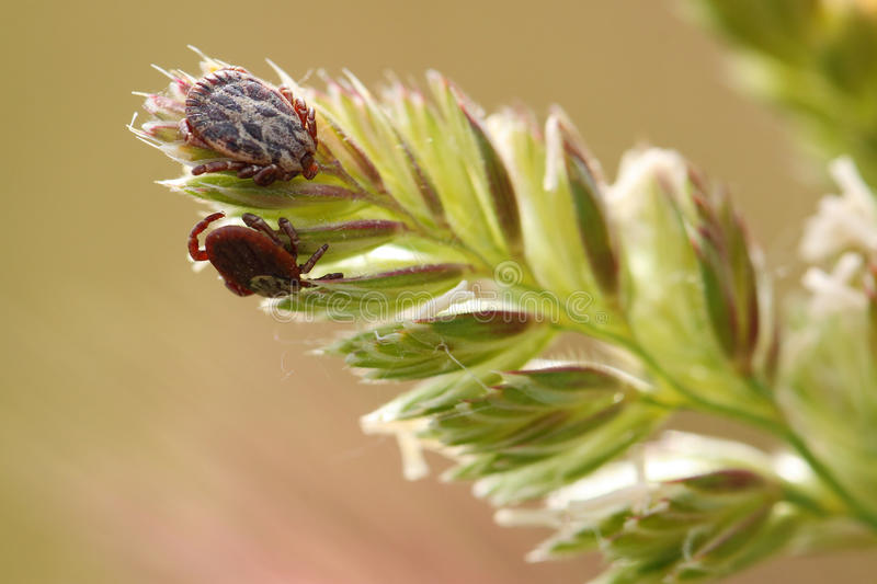 Cayenne tick on a plant. Amblyomma cajennense, known as the cayenne tick royalty free stock image