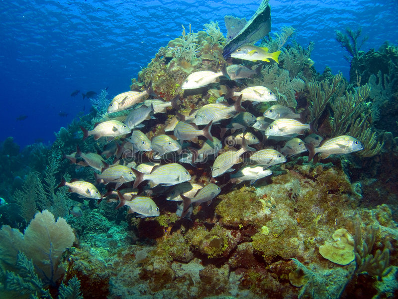 Cayman Brac Reef Scene. With School of French Grunts and blue Water stock photos