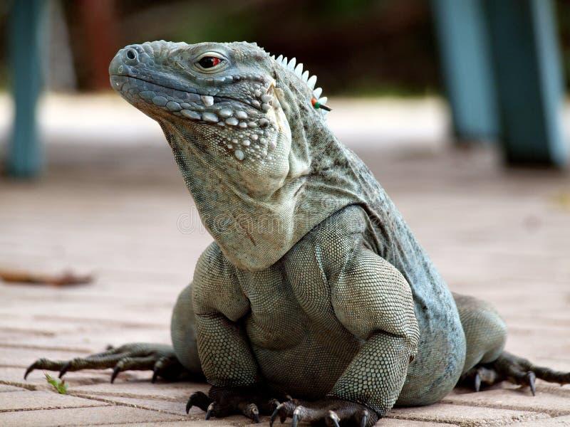 A Cayman Islands Blue Iguana stock image