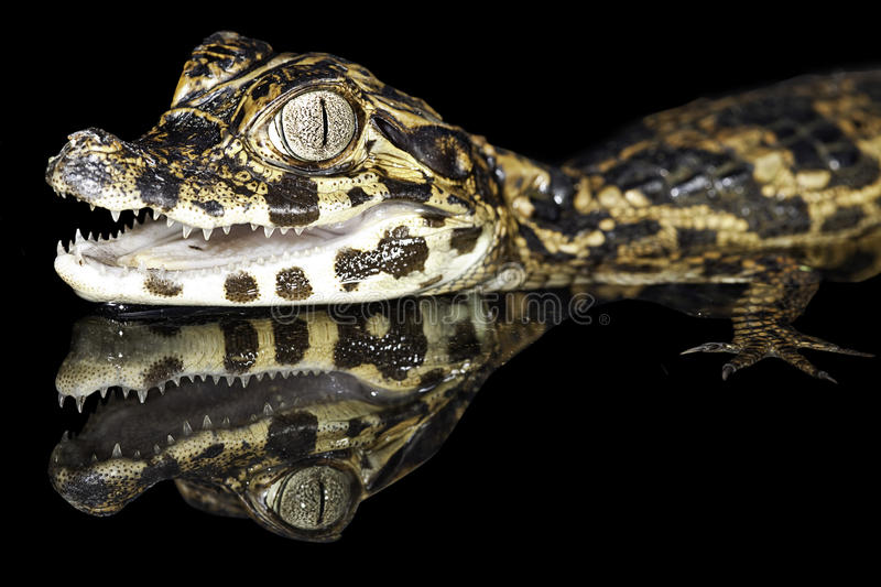 Cayman tropical rain forest amazon alligator gator. Juvenile spectacle cayman with reflection tropical rain forest amazon basin bolivia exotic species black stock photo