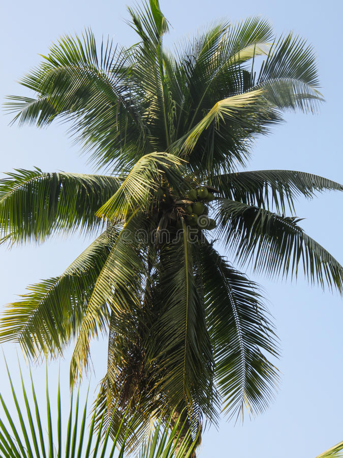 cayo椰子古巴guillermo结构树 库存图片