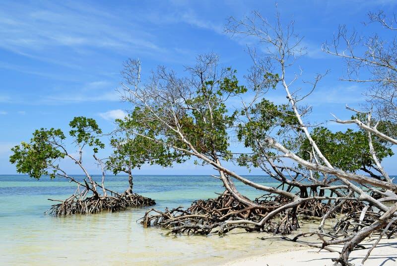 Cayo Jutias mangrowe fotografia royalty free