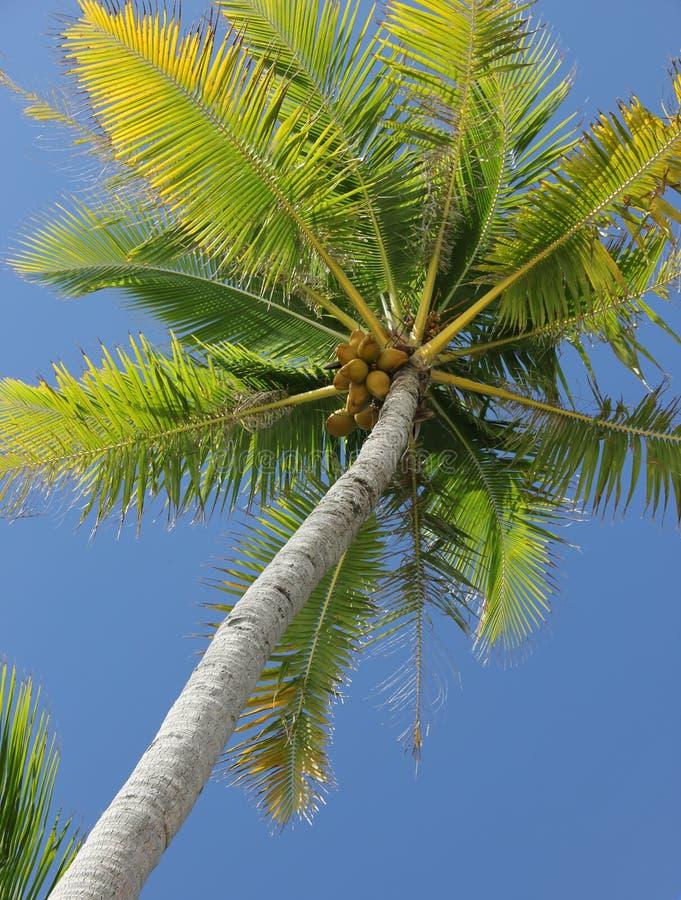 cayo kokosowy Cuba Guillermo drzewo zdjęcie stock