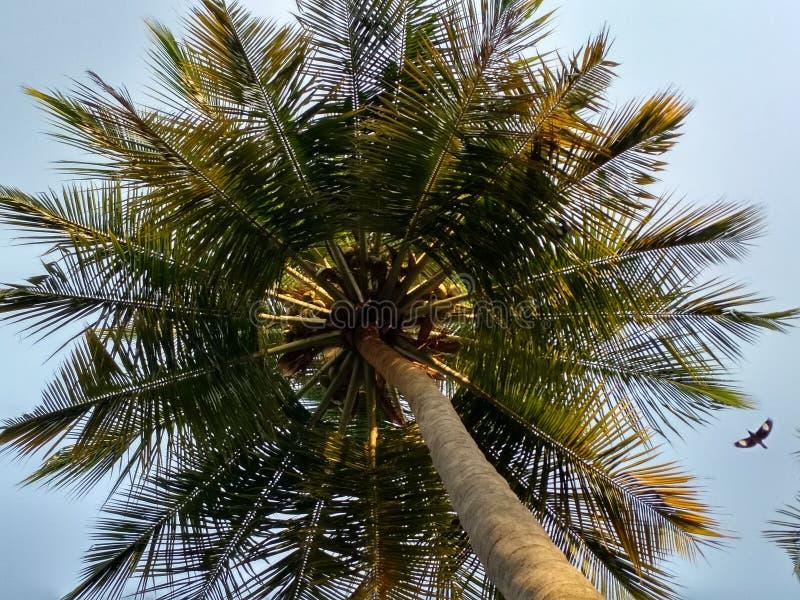 cayokokosnötcuba guillermo tree arkivfoton