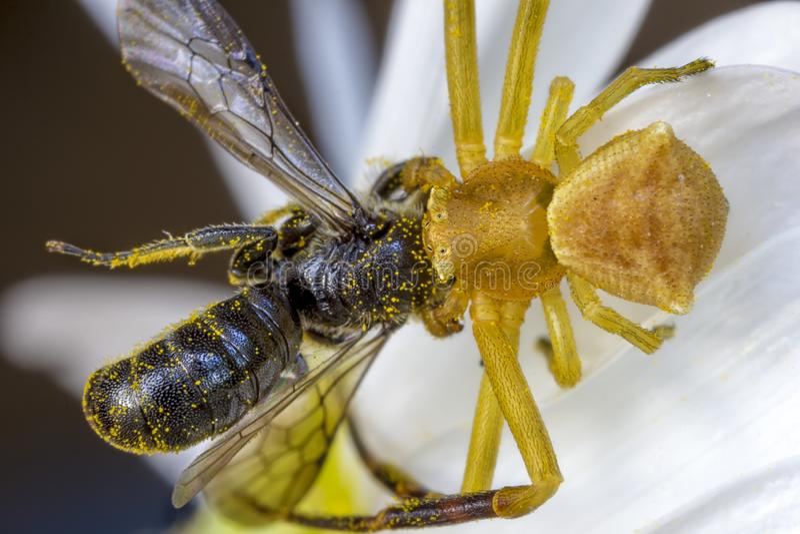 Caza amarilla de la araña y comer una abeja imagen de archivo libre de regalías