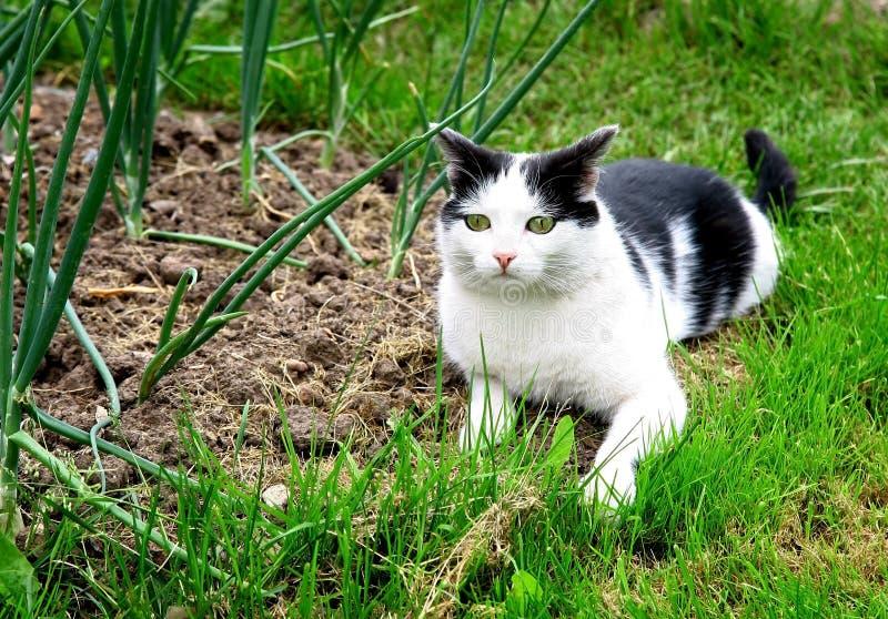 Caza blanca negra del gato en el jardín del verano foto de archivo